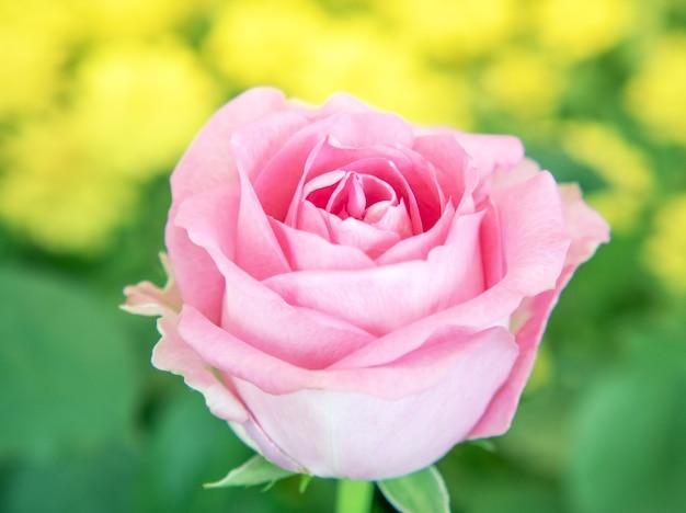 Mooie roze roos in zacht licht