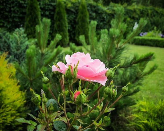 Mooie roze roos met dauwdruppels in de tuin, ideaal voor wenskaarten op de achtergrond