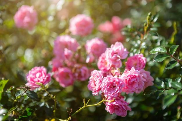 Mooie roze roos op de rozentuin in de zomer in een tuin.