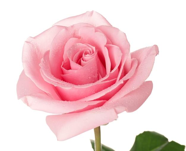 Mooie roze roos op witte achtergrond