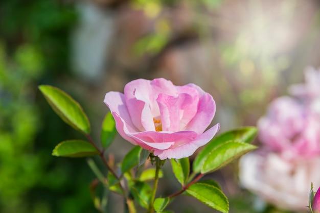 Mooie roze roze bloei