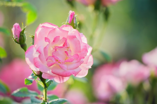 Mooie roze rozen bloeien in de tuin