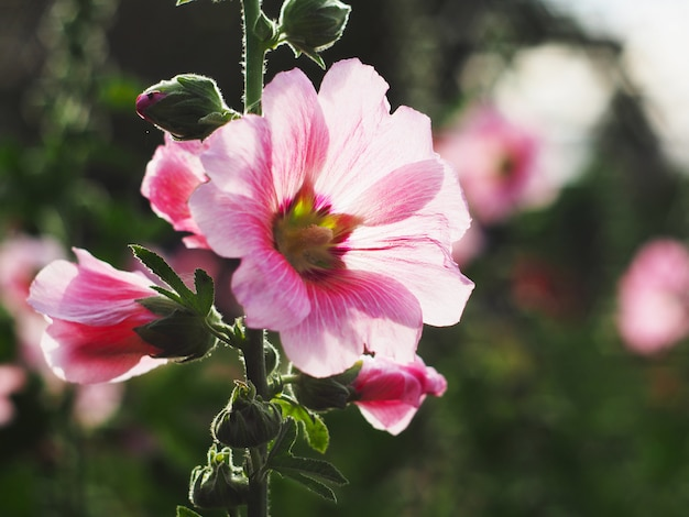 Mooie roze stokroosbloemen bij zonsondergang