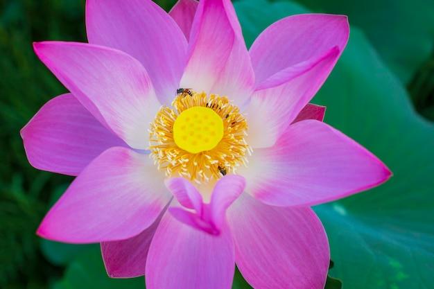 Mooie roze stuifmeel lotusbloem insectenbij vliegt met stuifmeel in het meer, puur roze lotusbloem groen blad.