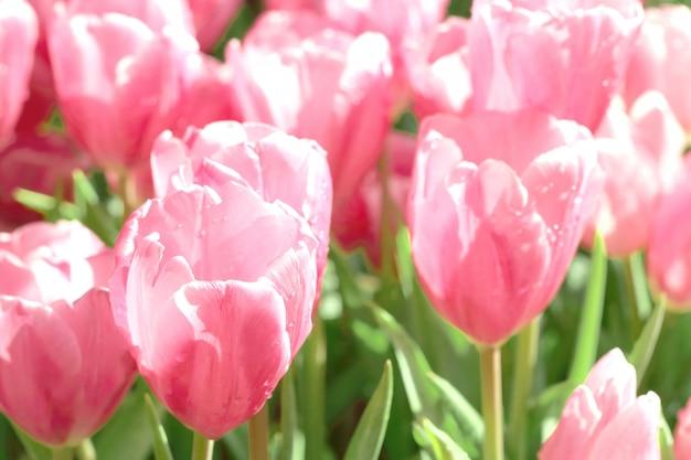 Mooie roze tulpenbloem met groen blad op tulpengebied.