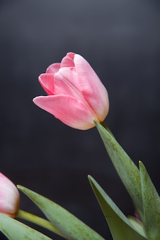 Mooie roze tulpenbloem op donker