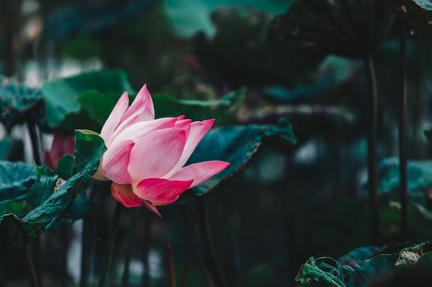Mooie roze waterlelie of lotusbloem in vijver