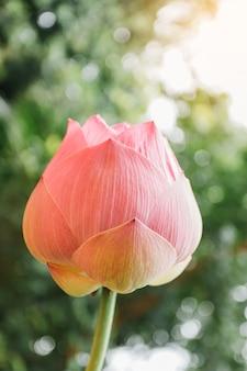 Mooie roze waterlelie of lotusbloem