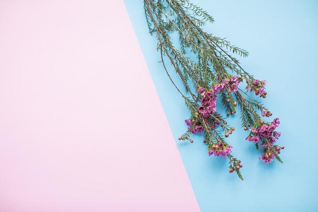 Mooie roze waxflower op veelkleurige papieren achtergronden met kopie ruimte. lente, zomer, bloemen, kleurenconcept, vrouwendag.