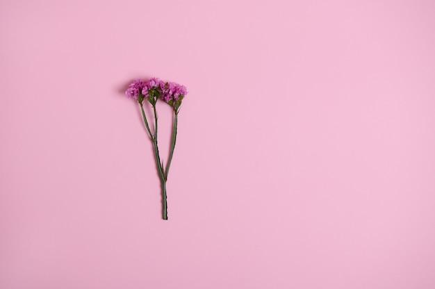 Mooie roze weide bloem geïsoleerd over roze achtergrond met kopie ruimte. platliggende compositie, stilleven.