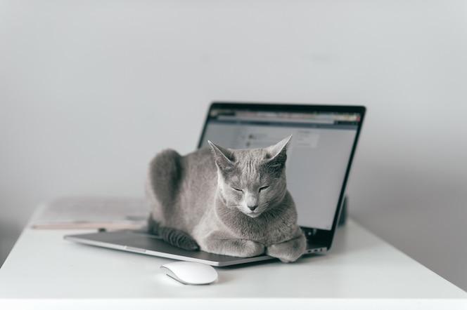Mooie russische blauwe kat met grappige emotionele snuit die op keayboard van laptop liggen en in huisbinnenland ontspannen op grijze muur.