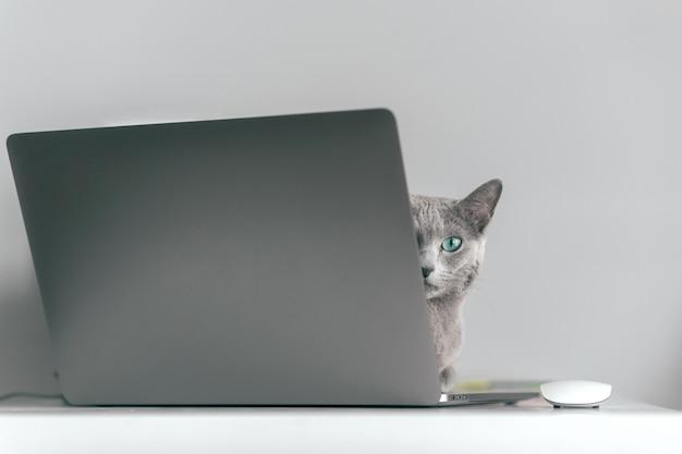 Mooie russische blauwe kat met grappige emotionele snuit die op keayboard van notitieboekje ligt en in huisbinnenland ontspant op grijze achtergrond. het fokken van aanbiddelijk grijs katje met blauwe ogen die op laptop rusten