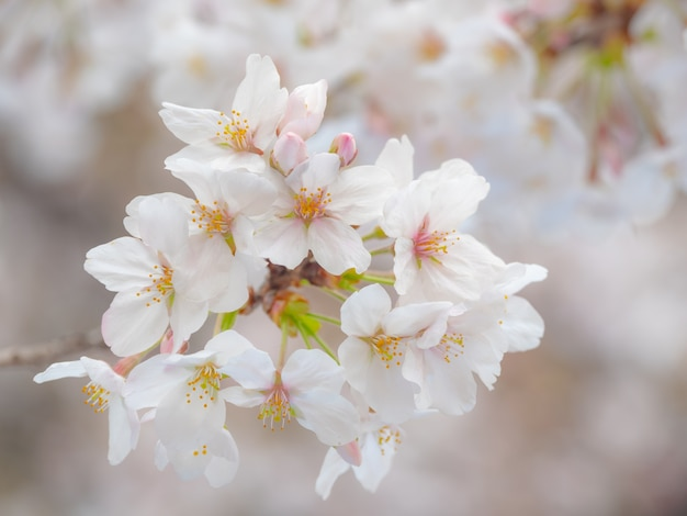 Mooie sakura komt tot bloei in de lente
