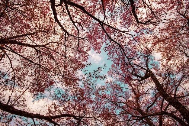 Mooie sakura-tunnelboom wilde himalaya-kers prunus cerasoides of roze kersenbloesembloem