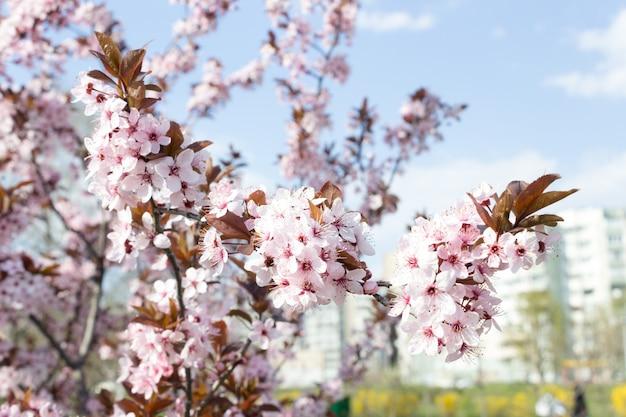 Mooie sakura van de kersenbloesem in de lentetijd over blauwe hemel.