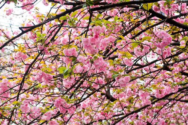 Mooie sakura van de kersenbloesem in de lentetijd