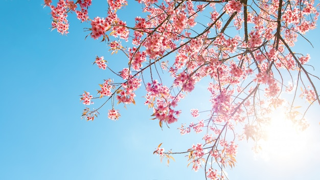 Mooie sakurabloem (kersenbloesem) in de lente. sakura boom bloem op blauwe hemel.