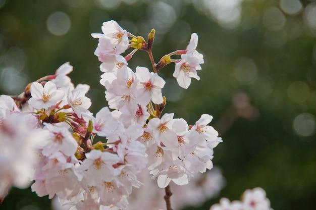Mooie sakurabloemen van de volledige bloei witte kersenbloesem