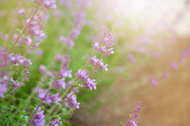 Mooie salvia-bloem (het ondubbelzinnig maken) met zonlicht in de tuin in boston. salvia cus
