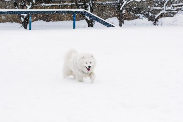 Mooie samojeed-hond in de sneeuw