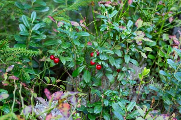 Mooie scène met groeiende bessen lingonberries in het bos close-up.