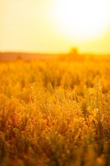 Mooie scène met wild gras zwaaien op een zonsondergang.