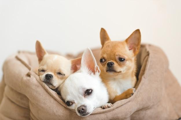 Mooie, schattige en mooie binnenlandse chihuahua puppy's vrienden liegen, ontspannen in hondenmand