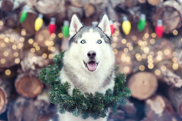 Mooie schattige lachende siberische husky hond zit met kerstkrans op nek.