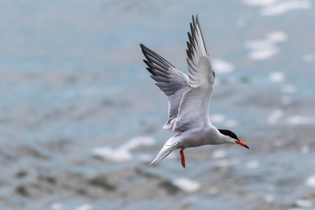 Mooie selectieve focus shot van een vliegende arctic tern-vogel