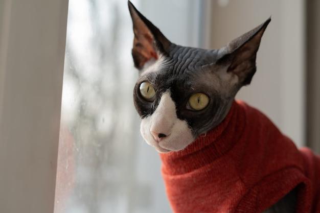 Mooie sfinxkat in een rode sweater die de camera bekijkt