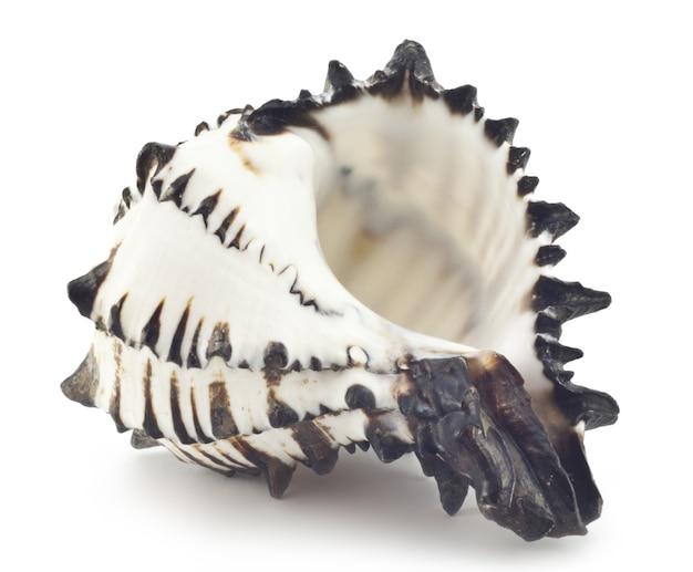 Mooie shell geïsoleerd