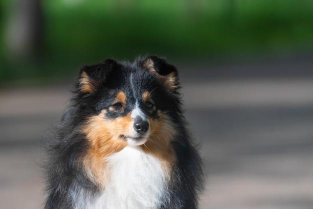 Mooie sheltie schotse herdershond loopt en voert hondentrainingsstunts uit in het park