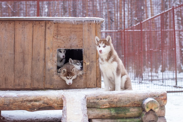 Mooie siberische husky-puppy's in de kennel, in de openluchtkooi, in de winter. de honden liggen met hun kop naar buiten in de cabine.