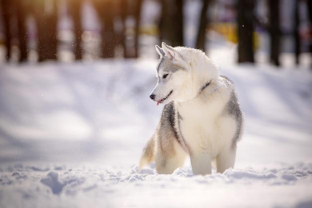Mooie siberische husky tijdens een wandeling, tegen een besneeuwd landschap.