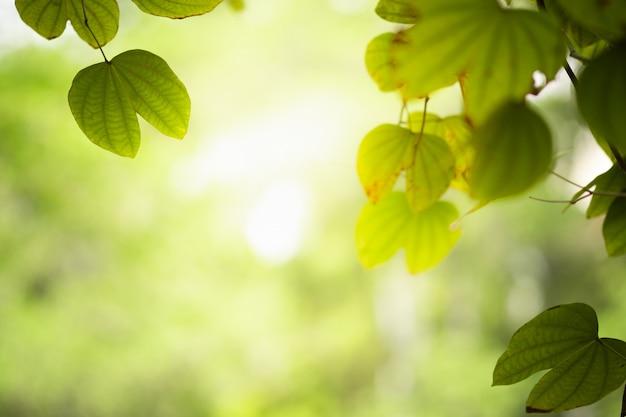 Mooie silhouettak en blad met geel zonlicht op groen vage achtergrond