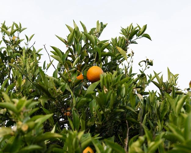 Mooie sinaasappelboom met rijp fruit