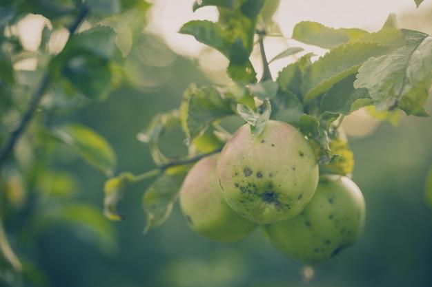 Mooie smakelijke verse appels op boom toning