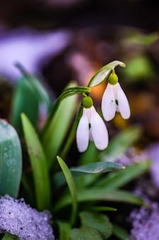 Mooie snowdrop bloemen in een bos in zonnige dag
