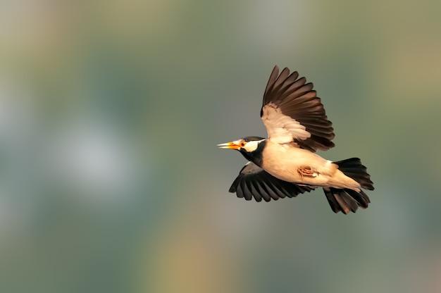 Mooie spanwijdte van een bonte spreeuw tijdens de vlucht