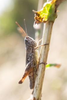 Mooie sprinkhaan op het gras op een onscherpe achtergrond. grasshopper macro weergave. grasshopper profiel. weide sprinkhaan