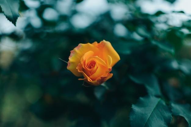Mooie struik van gele rozen in een lentetuin. tuin van rozen.