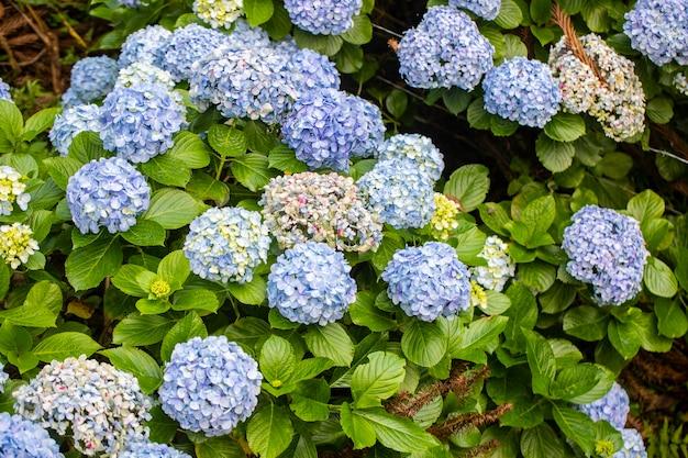Mooie struik van kleurrijke hortensia-bloemen.