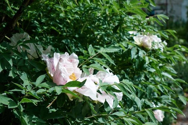 Mooie struiken met witte pioenrozen op de achtergrond van een groene tuin