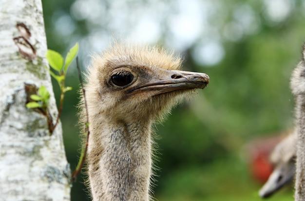Mooie struisvogel