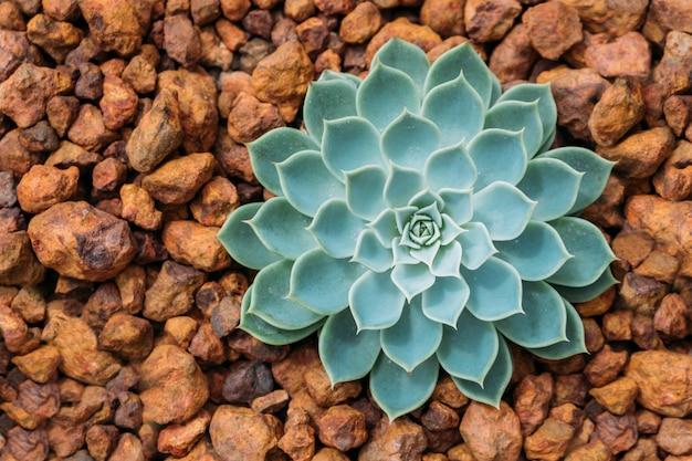 Mooie succulente cactus plant in de tuin