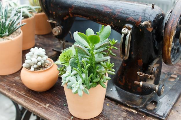 Mooie succulente installatie in serre met oude naaimachine