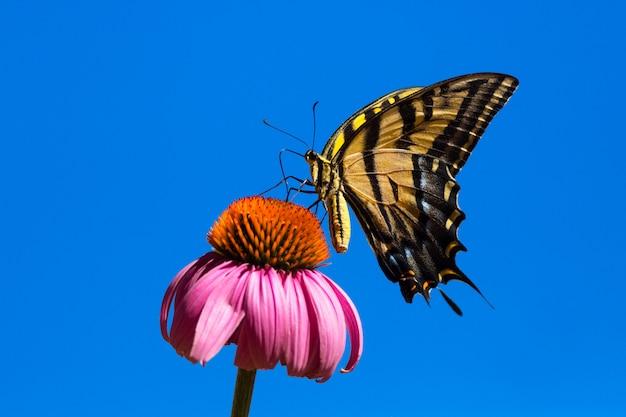 Mooie swallowtail-vlinder met blauwe hemel