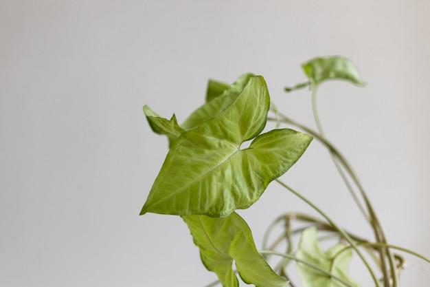 Mooie syngonium liaan plant tegen een grijze achtergrond lege witte muur en kopieer ruimte