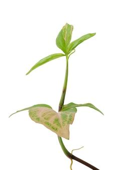 Mooie syngonium podophyllum bonte kamerplant met roze en groen blad geïsoleerd op een witte achtergrond