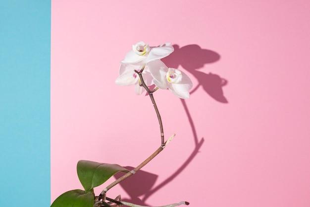 Mooie tak van bloeiende witte orchidee op een roze achtergrond.
